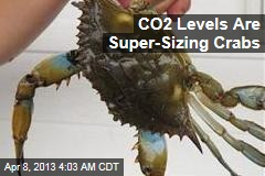 Side Effect of CO2 Emissions: Super-Sized Crabs