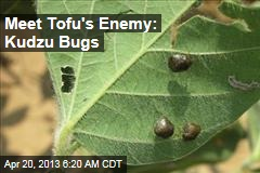 Meet Tofu's Enemy: Kudzu Bugs