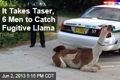 Fugitive Llama Subdued with Taser