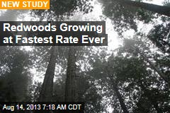 Redwoods Growing at Fastest Rate Ever