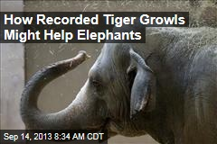 How Recorded Tiger Growls Might Help Elephants