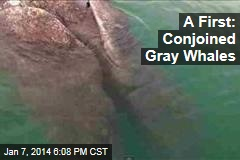 A First: Conjoined Gray Whales