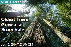 Oldest Trees are Fastest Growers