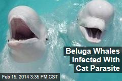 Beluga Whales Infected With Cat Parasite