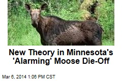 New Theory in Minnesota's 'Alarming' Moose Die-Off