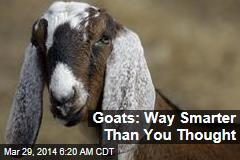Goats: Way Smarter Than You Thought