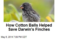 Darwin's Finches Build Pest-Free Nests
