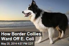 How Border Collies Ward Off E. Coli