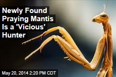 Newly Found Praying Mantis Is a 'Vicious' Hunter