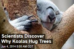 Scientists Discover Why Koalas Hug Trees