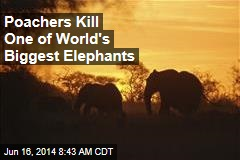 Poachers Kill One of World's Biggest Elephants