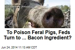 To Poison Feral Pigs, Feds Turn to ... Bacon Ingredient?
