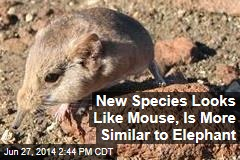 New Species Looks Like Mouse, Is More Similar to Elephant