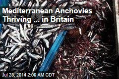 Mediterranean Anchovies Thriving in North Sea