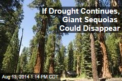 If Drought Continues, Giant Sequoias Could Disappear