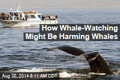How Whale-Watching Might Be Harming Whales