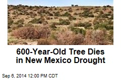 600-Year-Old Tree Dies in New Mexico Drought