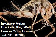Invasive Asian Crickets May Well Live in Your House