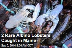 2 Rare Albino Lobsters Caught in Maine