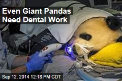 Even Giant Pandas Need Dental Work