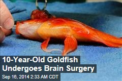 10-Year-Old Goldfish Undergoes Brain Surgery