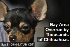 Bay Area Overrun by Thousands of Chihuahuas