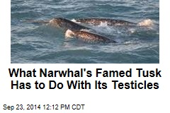 What Narwhal's Famed Tusk Has to Do With Its Testicles
