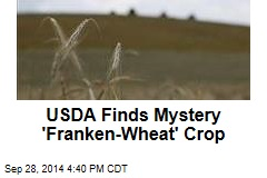 Mystery 'Franken-Wheat' Crop Appears in Montana