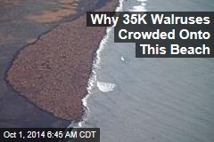Why 35K Walruses Crowded Onto This Beach