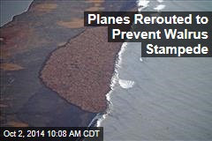 Planes Rerouted to Prevent Walrus Stampede