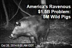 America's Ravenous $1.5B Problem: Wild Pig Surge