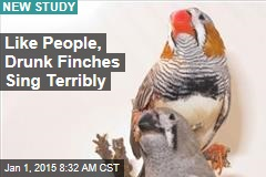 Like People, Drunk Finches Sing Terribly