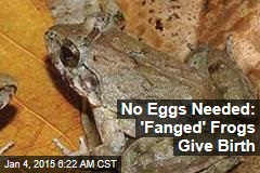 No Eggs Needed: 'Fanged' Frogs Give Birth