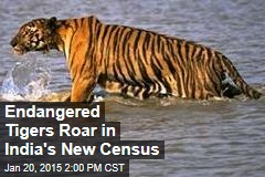 Endangered Tigers Roar in India's New Census