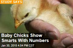 Baby Chicks Show Smarts With Numbers