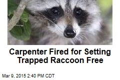 Carpenter Fired for Setting Trapped Raccoon Free