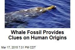 Whale Fossil Provides Clues on Human Origins