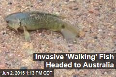 Invasive 'Walking' Fish Headed to Australia