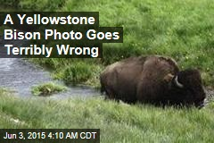 Another Yellowstone Bison Pic Goes Badly Wrong
