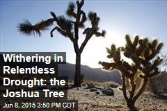Withering in Relentless Drought: the Joshua Tree