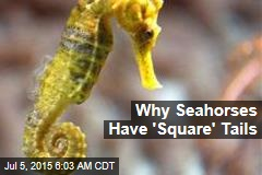 Why Seahorses Have 'Square' Tails
