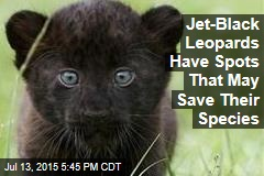 Jet-Black Leopards Have Spots That May Save Their Species