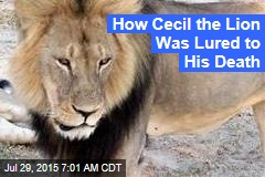 How Cecil the Lion Was Lured Out of His Sanctuary
