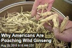 Why Americans Are Poaching Wild Ginseng