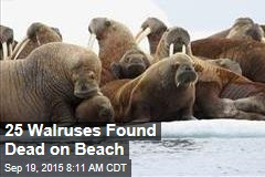 25 Walruses Found Dead on Beach