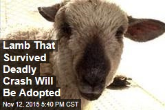 Lamb That Survived Deadly Crash Will Be Adopted