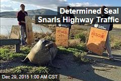 Determined Seal Snarls Highway Traffic
