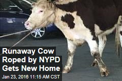 Runaway Cow Roped by NYPD Gets New Home