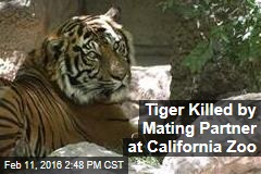 Tiger Killed by Mating Partner at California Zoo