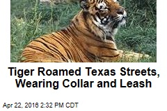 Tiger Roamed Texas Streets, Wearing Collar and Leash